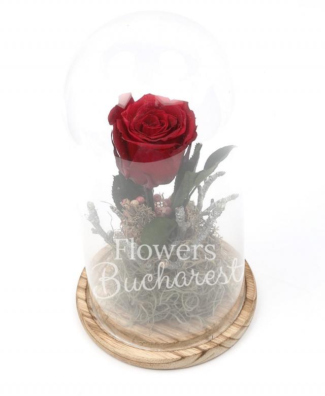 1 trandafir_criogenat_rosu, cupola sticla